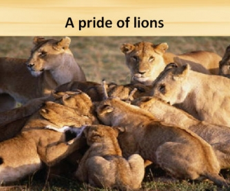 Groups of Animals PowerPoint