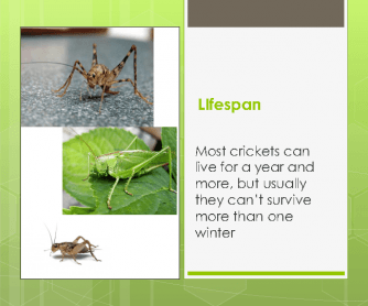 Project About Insects: Crickets