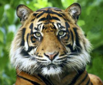 Research Activity: The Sumatran Tiger